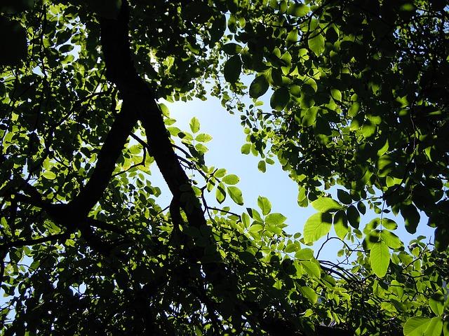 vlašský ořech - strom