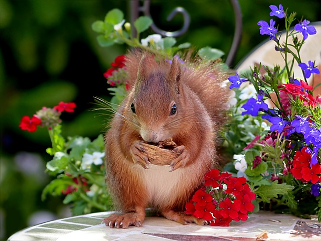 veverka chroupe vlašský ořech